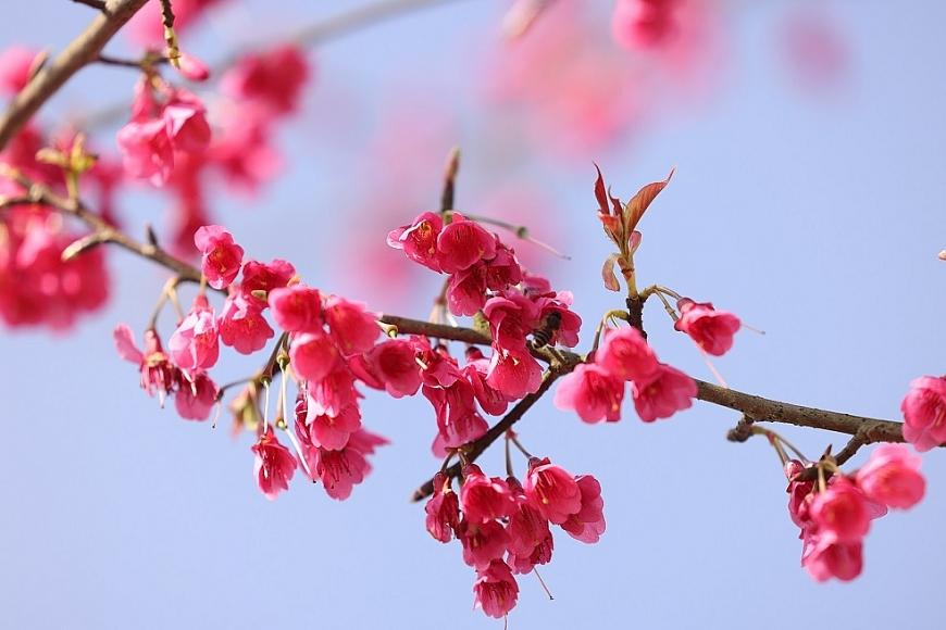 Khác với anh đào Nhật Bản, anh đào Hymalaya thanh mảnh hơn nhưng không kém phần quyến rũ với hình dáng như những chiếc chuông hồng rực rỡ, nhỏ xinh gọi xuân về.