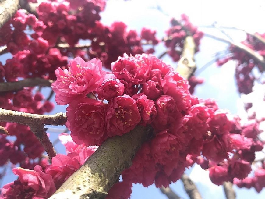 Thuộc giống hoa Kanhi Zakura với màu hồng đậm, hoa mọc thành từng chùm dày, anh đào Nhật Bản tại Fansipan năm nay nở sớm so với mùa anh đào hàng năm, khiến du khách không khỏi choáng ngợp, thích thú khi được ngắm loài hoa quý đến từ xứ sở mặt trời mọc.