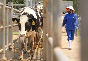 Tập đoàn TH nhập 4.500 bò sữa cao sản thuần chủng